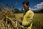 Keutapang Village near Banda Aceh - Aceh, Indonesia  Nov. 2008. (Heifer Participant) M. Isa cuts and bundles rice on the rice line. He has recived a cow from Heifer which will help supplement his income from growing rice.