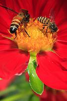 A pais dorsata and a apis cerena forage on a flower.