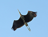 Great blue heron flying overhead, Lake Conway, Arkansas