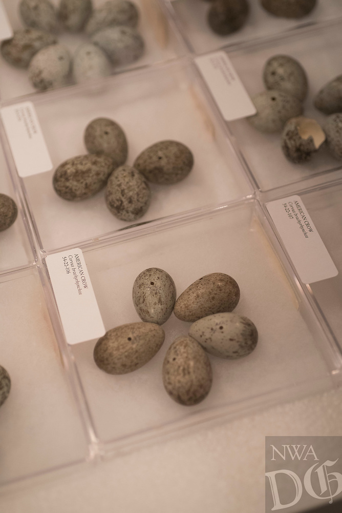 Northwest Arkansas Democrat Gazette/SPENCER TIREY Bird eggs are shown that are part of the University of Arkansas Archeology archive in Fayetteville.
