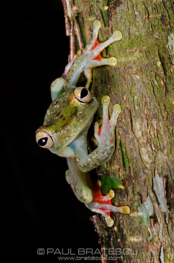 Red-webbed Tree Frog (Hyla Rufitela)