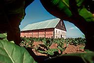 Cuba, March 1992: Tobacco plantation in Vinales area, Cuba.