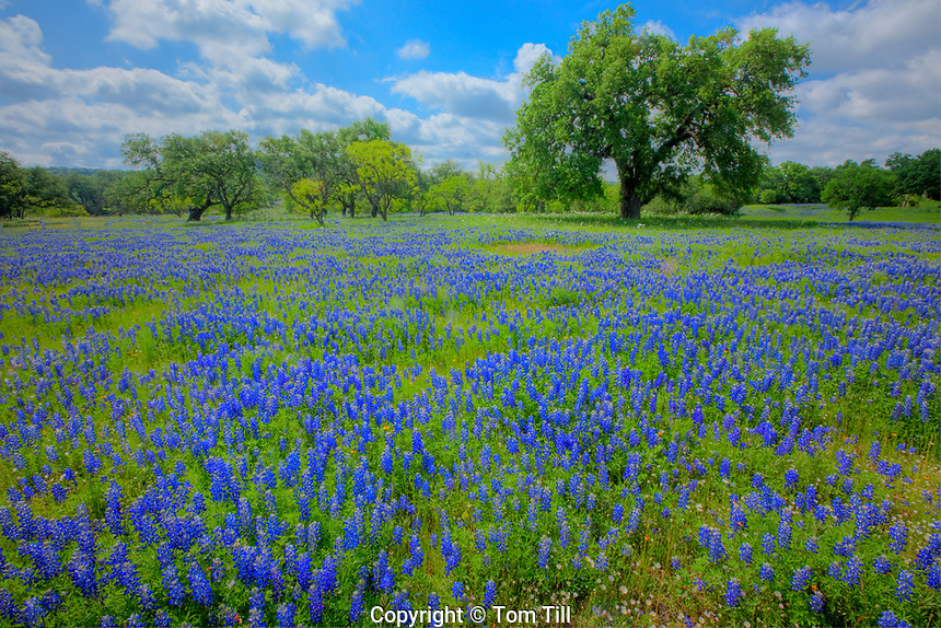 Texas bluebonnets (Lupininus texensis), Texas Hill Country, Texas
