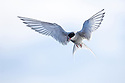 Adult Arctic Tern (Sterna paradisaea) hovering / foraging. Northern Spitsbergen, Svalbard, Arctic Norway.