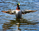 A Mallard duck spreads its wings on the Pigeon River near the Old Mill in Pigeon Forge, Tennessee.