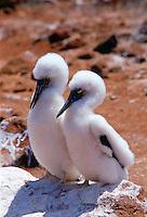 Blue-footed Booby juvenile birds on the Galapagos Islands, Ecuador