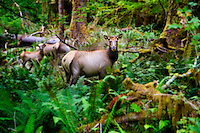 Elk watch from about 50 yards away as hikers pass by on the Hoh River Trail.The Hoh River trail in Olympic National Park starts in the mossy and lush Hoh Rain Forest. From there you climb over 5,000 ft. in elevation along towering trees and rock to overlook the windswept Blue Glacier on Mt. Olympus. Tracing your steps back to the Hoh River visitors center the hike covers over 36 miles of diverse climate and ecosystems ranging from temperate rain forest to alpine.