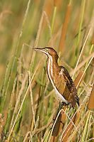 508730011 a wild least bittern ixobrychus exilis perches in tall reeds along a watercourse in anahuac national wildlife refuge in texas