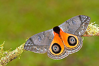 Saturnidae Moth (Automeris banus), Costa Rica