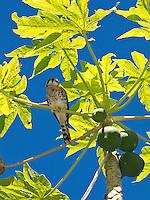 Sparrow Hawk or American kestrel <br /> (Falco sparverius)<br /> Virgin Islands National Park<br /> St. John, U.S. Virgin Islands