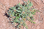 Thistle in dry desert earth.