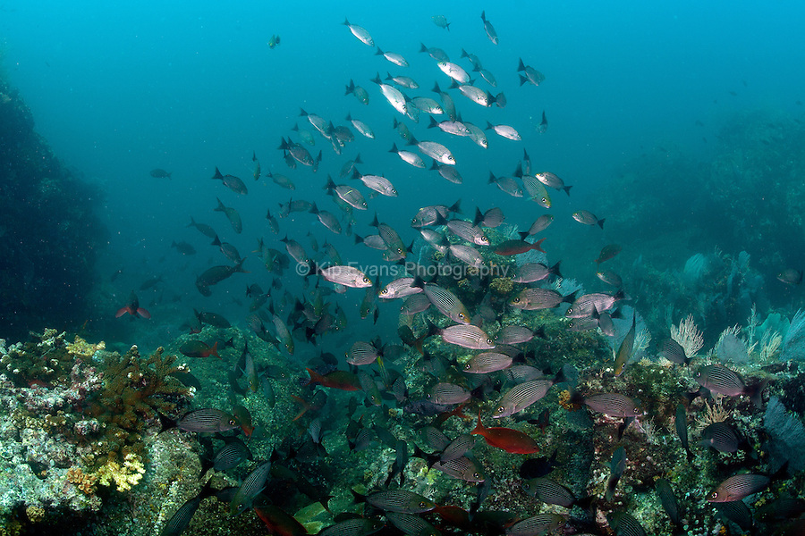 Schooling fish on a coral reef off the coast of Coiba, Panama.