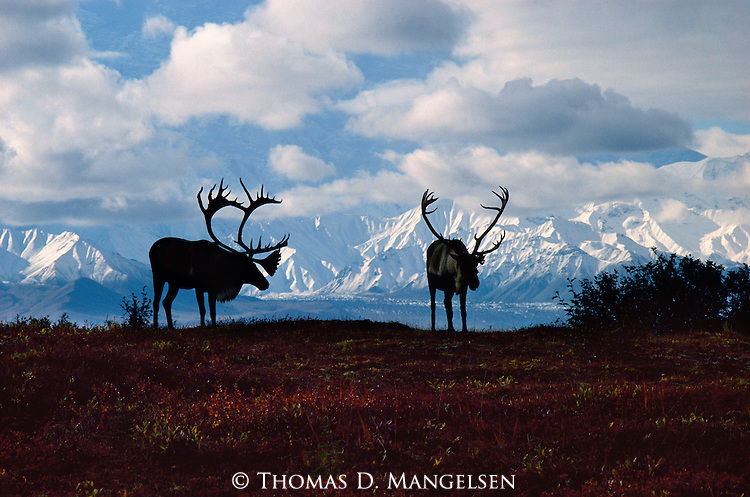 Symbols of the northern country, a pair of bull caribou are silhouetted against the backdrop of the Alaska Range in Denali National Park.