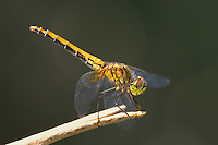 362700009 a wild juvenile male band-winged meadowhawk sympetrum semicintum perches on a plant stem near jean blanc canal north of bishop inyo county california united states