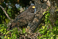 541710167 a wild adult common black hawk offers protection and shelter to its young chick perched on a nest in tamaulipas state mexico