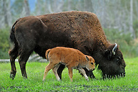 American Bison, also known as the American Buffalo (although it is only distantly related to the true buffalo), (Bison bison)