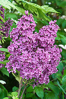 Syringa vulgaris Andenken an Ludwig Spath Lilac shrub in spring May flowering