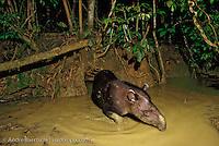 Brazilian Tapir (Tapirus terrestris) at a clay lick at night in lowland tropical rainforest, Manu National Park, Madre de Dios, Peru.