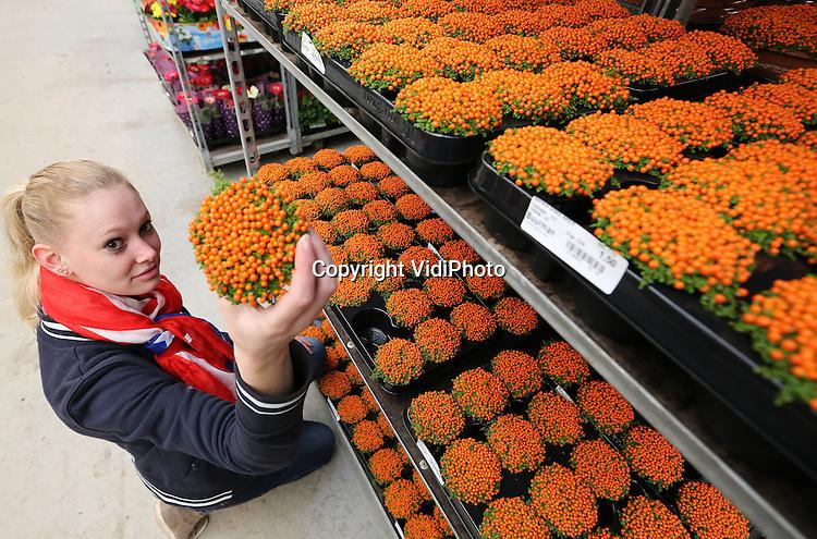 Foto: VidiPhoto..EDE - Het volk wil oranje, het volk krijgt oranje. Bloemkwekers en bloemisterijen spelen handig in op de troonwisseling van 30 april. Oranje of rood-wit-blauwe bloemen en planten in allerlei vormen en maten zijn haast niet aan te slepen. Kwekers zijn woensdag volop aan het oogsten of stellen combinaties samen. Op Bloemveiling Plantion in Ede worden woensdag duizenden oranje planten of boeketten verhandeld en verwerkt, bestemd voor met name de Nederlandse supermarkten. Omdat Plantion met name aan de binnenlandse markt levert, is daar het meeste oranje te vinden. Buitenlandse afnemers hebben nauwelijks belangstelling. Foto: Vooral het oranje koraalmos vliegt als zoete broodjes over de toonbank bij Buurman Planten op Plantion.