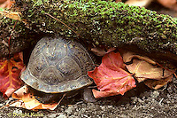 1R07-095z  Eastern Box Turtle - in shell - Terrapene carolina