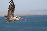 Brown pelican in flight in Pismo Beach