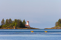 Sitka Black-tailed deer feed along the shore in Sitka Sound. Rockwell Lighthouse is located on Rockwell Island in the Sitka Sound, AK. It was built in 1977 and still operates as a Bed and Breakfast inn. Coastal community of Sitka located on Baranof Island in Alaska's southeast panhandle.
