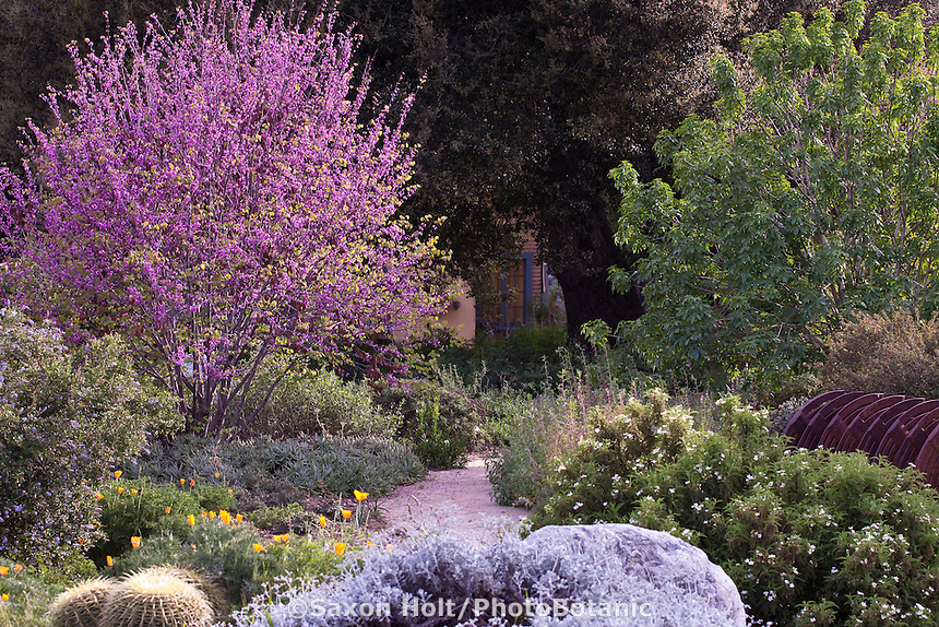 Flowering Western Redbud tree (Cercis occidentalis) in mixed border in Southern California, drought tolerant native plant garden
