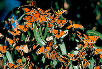 Monarch butterflies on eucalyptus tree leaves, migrating through Pismo Beach, California