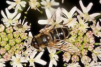 Lange Bienen-Schwebfliege, Lange Bienenschwebfliege, Weibchen, Blütenbesuch, Eristalis pertinax, drone fly