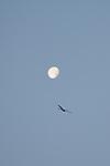 17th November - Red Kite & Moon