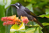 Portrait of Belford's Honeyeater (Melidectes belfordi), Papua New Guinea