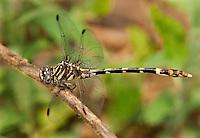 360220031 a wild female five-striped leaftail phyllogomphoides albrighti perches on a flower stalk in southeast metropolitan park travis county texas