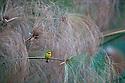 Botswana, Moremi Game Reserve, Okavango Delta, Little bee-eater (Merops pusillus)  on papyrus branch