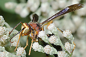 Paper Wasp female (Polistes metricus), Lake Texoma, Oklahoma, USA