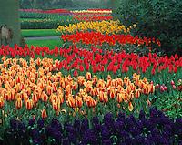 Spring Tulips, Keukenhof Gardens,  Netherlands    Also daffodils, hyacinth, narcssi   Seventy square arce garden near Amsterdam