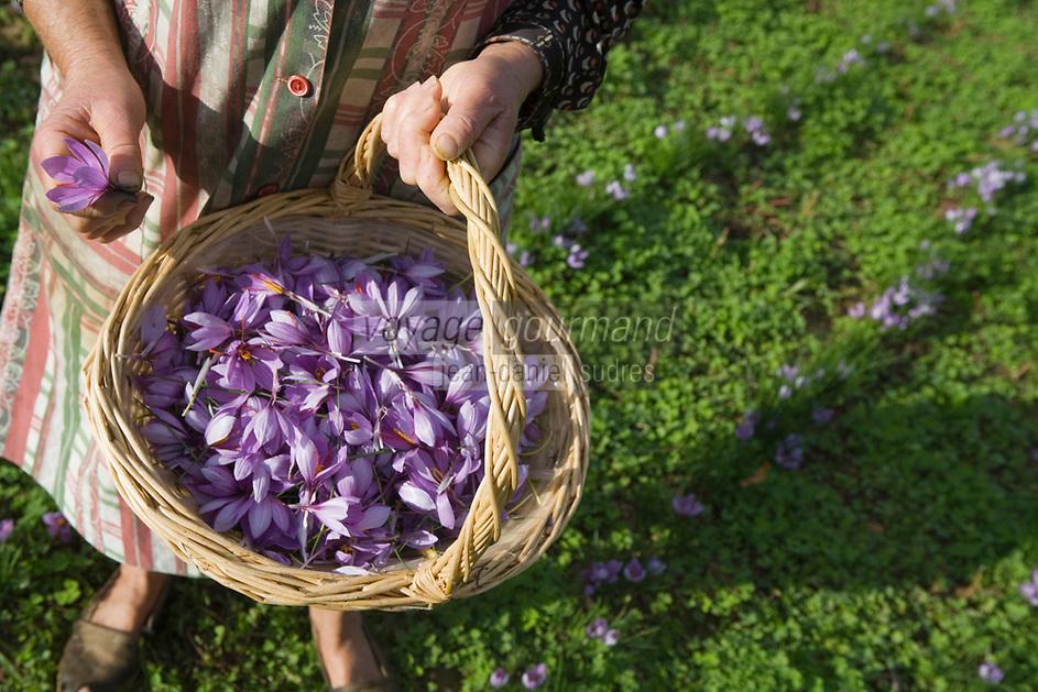 Europe/France/Midi-Pyr&eacute;n&eacute;es/46/Lot/Gaillac:Ramassage du Safran du Quercy &agrave; la safrani&egrave;re de la ferme de Didier Doucet par sa m&egrave;re Raymonde  //  France, Lot, Gaillac, Didier Doucet's Farm, saffron plantation, Quercy Saffron, harvesting of Crocus sativus flowers where saffron is extracted <br />  [Non destin&eacute; &agrave; un usage publicitaire - Not intended for an advertising use]