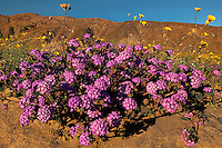 712000125 a spring display of colorado desert wildflowers including desert sand verbena abronia villosa dune primrose oenothera deltoides and dune marigold baileya pleniradiata in anza borrego desert state park california