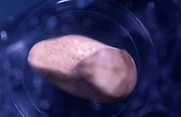 African Clawed Frog embryo, first body movements stage (Xenopus laevis). LM