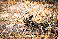 African Wild Dog, Kruger National Park.  The African wild dog, also called Cape hunting dog or painted dog, typically roams the open plains and sparse woodlands of sub-Saharan Africa.<br />