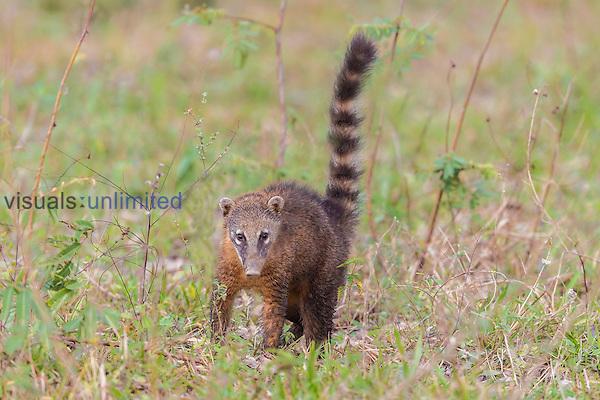 South American Coati (Nasua nasua), Pantanal, Mato Grosso, Brazil