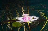 European white waterlily, Nymphaea alba, colour variation rosea, Bohuslän, Sweden