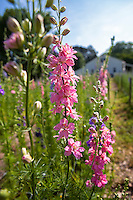 Pink larkspur growing in Slow flower farm; Lisa Ziegler Gardeners Workshop