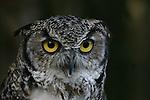 great- horned owl