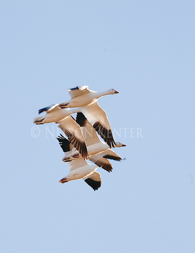 Snow Geese flying over Freezeout Wildlife Refuge in Montana
