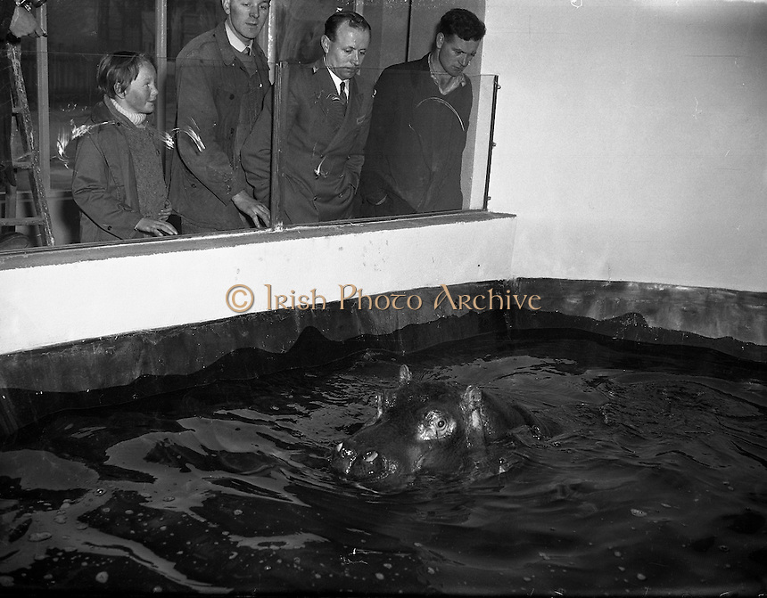 Gilbert the Hippopotamus arrives at Dublin Zoo, in Phoenix Park, Dublin, Ireland is the largest zoo in Ireland and one of Dublin's most popular attractions. Opened in 1831, .28/03/1958,<br />
