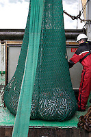 Deckhand transferring catch for processing below deck. Barents sea, arctic Norway