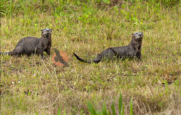 Two River Otters playing in the grass