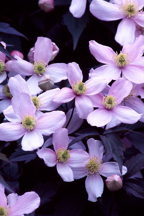 Grouping of pink Clematis montana 'Elizabeth' flowers on wall in photogapher's garden, Vancouver, BC