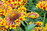 Gaillardia Gaillardia Gallo™ Yellow Trumpet fluted flowers orange and red