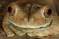 Gladiator Tree Frog head (Hypsiboas rosenbergi), adult, San Cipriano Reserve, Cauca, Colombia